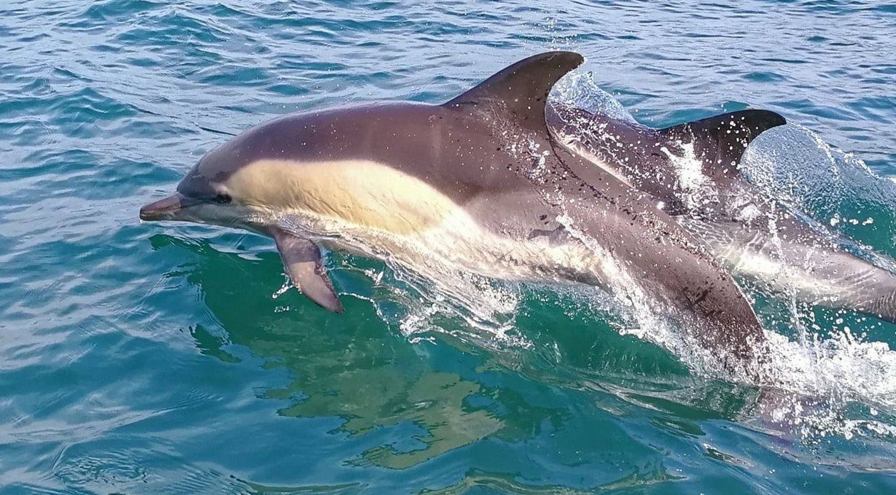 Dolphin andaman